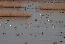 """Οι """"μετρητές"""" των πουλιών! Εθελοντές που επί 30 χρόνια συμμετέχουν στις καταμετρήσεις υδρόβιων πουλιών"""