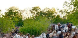 Σέρρες: Στα Άνω Πορόια το μεγαλύτερο κοπάδι αλόγων ελληνικής φυλής Πίνδου στην Ευρώπη (φώτος)