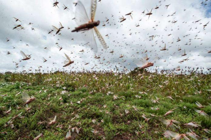 Επιδρομή εκατομμυρίων ακρίδων στην Ανατολική Αφρική - Η κλιματική αλλαγή ίσως είναι η αιτία