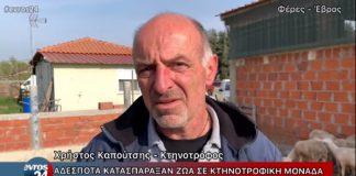 Δεκάδες ζώα νεκρά από επίθεση αδέσποτων σκύλων σε μαντρί στις Φέρες (βίντεο)
