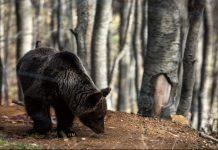 Καστοριά: Αρκούδα με τα μικρά της έκανε βόλτα στην παραλίμνια περιοχή (βίντεο)