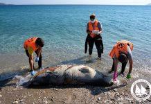 Εφτά νεκρές Μεσογειακές φώκιες εντοπίστηκαν στο Αιγαίο τις μέρες των περιορισμών