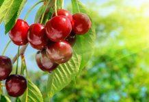 FMC: Έγκριση από το ΥΠΑΑΤ του εντομοκτόνου Exirel® 10SE για την κερασιά