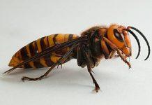 ΗΠΑ: Ανησυχία για τις σφήκες δολοφόνους μελισσών από την Ασία