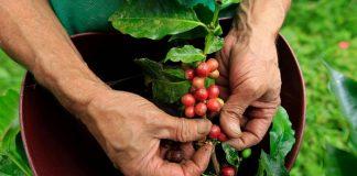 Κολομβία: Η έλλειψη εργατών λόγω πανδημίας θέτει σε κίνδυνο τη συγκομιδή καφέ και το μέλλον των εξαγωγών