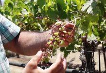 Κρήτη: Ζημιές από τον καύσωνα στα επιτραπέζια σταφύλια