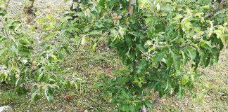 Ολοκληρωτική η καταστροφή καλλιεργειών απ΄ τη χαλαζόπτωση στη Ζαγορά (φωτός)