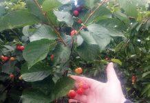 Ροδόπη: Εκτεταμένες ζημιές στις κερασιές του Ίασμου από την κακοκαιρία