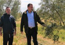 «Σοβαρή ζημιά στην ελαιοκαλλιέργεια της Δυτικής Ελλάδας από τον καύσωνα»