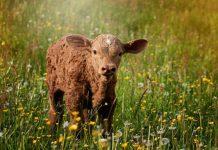 Συνδεδεμένες: Καθορίστηκαν οι τιμές για βόειο, συμπύρηνο ροδάκινο και κτηνοτροφία χωρίς γη