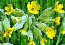 Το θεραπευτικό βότανο «λουλούδι του Δαρβίνου» στο δρόμο της καλλιέργειας από την Περιφέρεια Ηπείρου