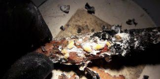 «Εργάτης του πεύκου»: Δραπέτευσε από Ελλάδα στην Αυστραλία και θα αντιμετωπίσει τον φυσικό του ...εξολοθρευτή