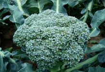 FMC: Άδεια διάθεσης από το ΥΠΑΑΤ για το εντομοκτόνο VERIMARK® 20 SC στην καλλιέργεια μπρόκολου