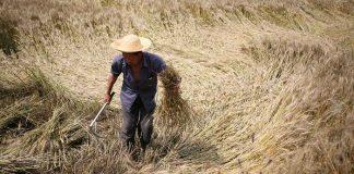 Κίνα: Το 90% της φετινής καλοκαιρινής σοδειάς σιτηρών είχε συλλεχθεί, μέχρι χθες