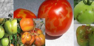 Κρήτη: Διαπίστωση παρουσίας του ιού της καστανής ρυτίδωσης στις ντομάτες