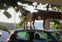 Kατσίκες στη Λαμία βρήκαν τον τρόπο να φτάσουν τη μουριά...