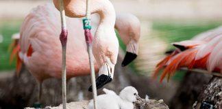 Προστατέψτε τα ροζ μωρά φοινικόπτερα. Όχι στις πτήσεις drone
