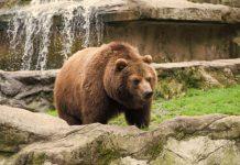 Με σπασμένο χέρι νοσηλεύεται ο 26χρονος που τραυματίστηκε από αρκούδα στην Καστοριά