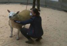Αυτό είναι το ακριβότερο πρόβατο του κόσμου -Πουλήθηκε έναντι 408.000 ευρώ (βίντεο)