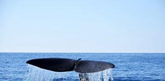Φάλαινα φυσητήρας 20 μέτρων στην Ανατολική Μάνη