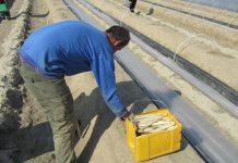 """Στα καλύτερα σπαράγγια και σε μεγαλύτερη ανακύκλωση υλικών """"συναγωνίζονται"""" παραγωγοί και δήμος στην Αλμωπία"""
