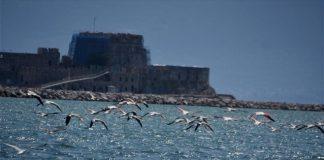 «Μάγεψαν» το Ναύπλιο τα φλαμίνγκο που εμφανίστηκαν σε υδροβιότοπο