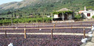 Μεσσηνία: Μειωμένη παραγωγή, καλή ποιότητα στην καλλιέργεια της σταφίδας φέτος