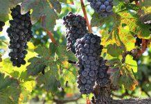 Δήμος Νάουσας: Διαγωνισμό φωτογραφίας με θέμα τον τρύγο και την παραγωγή κρασιού