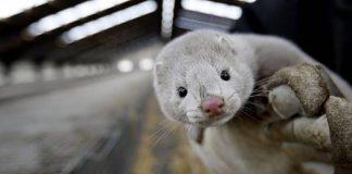Έγκριση de minimis για τους εκτροφείς γουνοφόρων ζώων