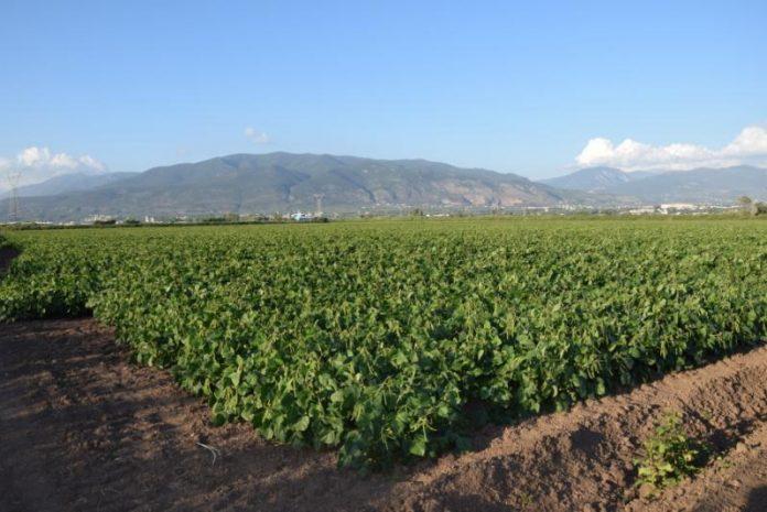 Ελληνικά Όσπρια: Στη Μεσσηνία ξανακαλλιεργούν ροβίτσα 40 χρόνια μετά (Βίντεο - φωτός)