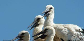 Περισσότερα πελαργάκια «ξεμύτισαν» φέτος στο Δέλτα Αξιού
