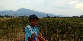 Λιγότερα κατά 5000 στρέμματα τα καπνά που καλλιεργήθηκαν φέτος στη Ροδόπη