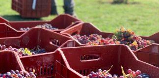 Τρύγος για τις κόκκινες ποικιλίες στον αστικό αμπελώνα στη Θεσσαλονίκη