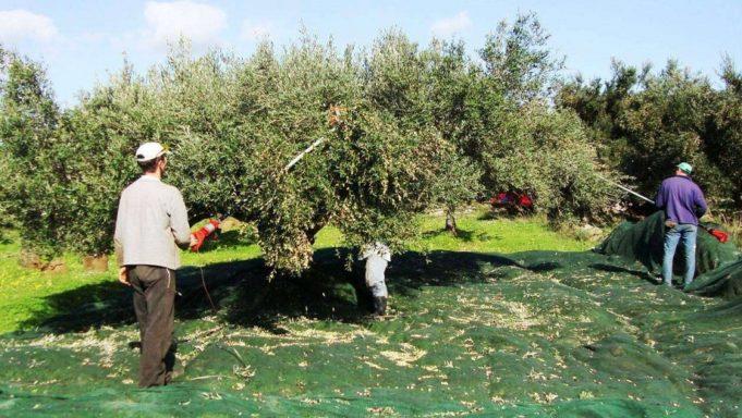 H Περιφέρεια Κρήτης συστήνει πρώιμη συγκομιδή στους ελαιοπαραγωγούς