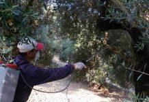 Σήμερα η τελευταία διαβροχή κατά του Δάκου της Ελιάς στη Λέσβο