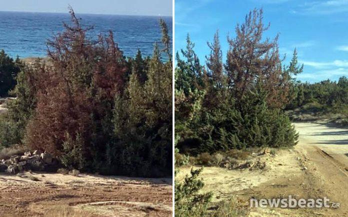 Καταστρέφεται το μοναδικής ομορφιάς κεδροδάσος της Νάξου εξαιτίας ενός σπάνιου μύκητα