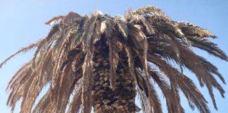 Έκκληση Δήμου Μυτιλήνης σε ιδιοκτήτες φοινίκων για την αντιμετώπιση του σκαθαριού