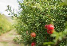 «Φρενίτιδα» για το γούρικο ρόδι- Ξεπούλησαν οι παραγωγοί