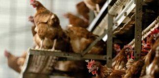 Οι αρχές της Ουγγαρίας διατάσσουν τη σφαγή 101.000 κοτόπουλων μετά την εμφάνιση γρίπης των πτηνών
