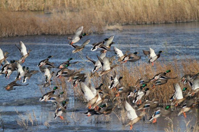 Μελέτη στο Δέλτα Έβρου: Κυνηγοί «χτυπούν» ακόμη και προστατευόμενα είδη
