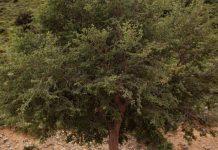 Αμπελιτσιά – Το απειλούμενο ενδημικό δέντρο της Κρήτης (βίντεο)